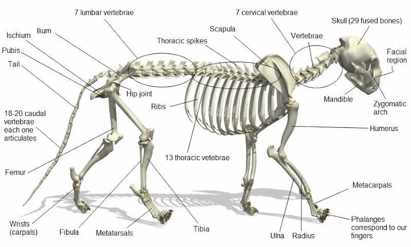 cat-skeleton-A.jpg